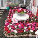 <strong>Schoneveld Breeding&#8217;s cyclamen display</strong><br />