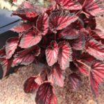 <strong>Begonia &#8216;Dibs Rothko&#8217; from Green Fuse Botanicals</strong><br />