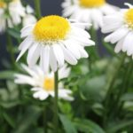 <strong>Leucanthemum &#8216;Darling Daisy Supreme&#8217; from Green Fuse Botanicals</strong><br />