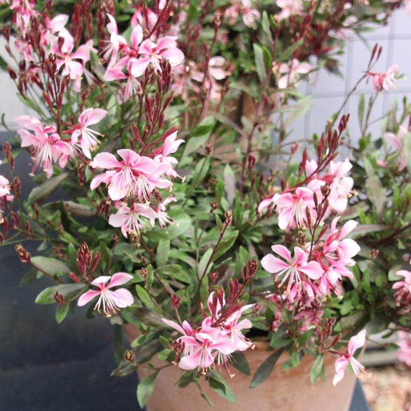 Gaura Bantam Pink - Green Fuse Botanicals