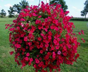 Petunia Supertunia Vista Paradise - Proven Winners
