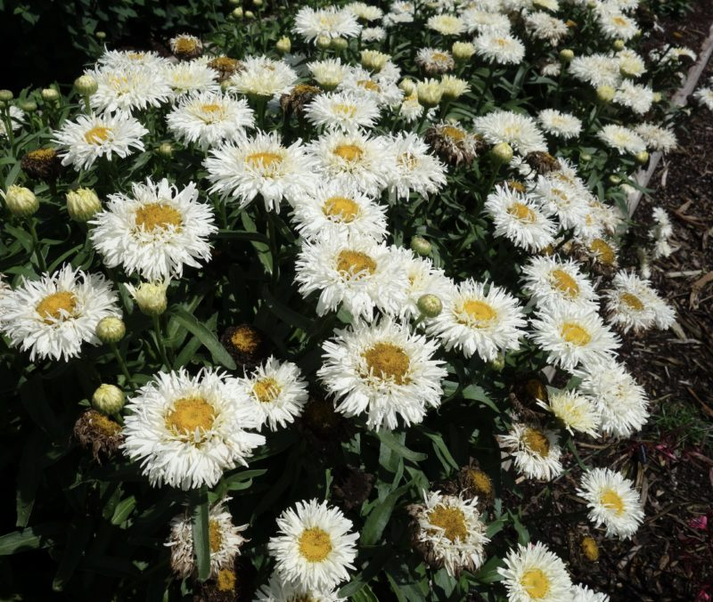 Leucanthemum Coconut - Terra Nova Nurseries