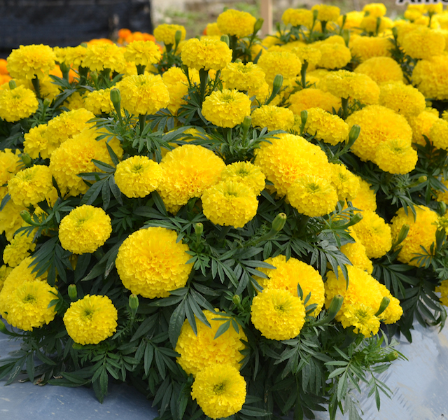 Marigold Big Duck Ameriseed All America Selections