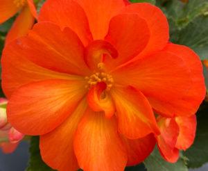 Begonia Nonstop - Benary