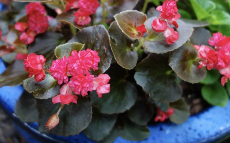 Begonia - Proven Winners