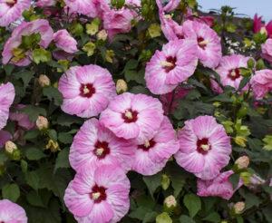 Summerific hibiscus