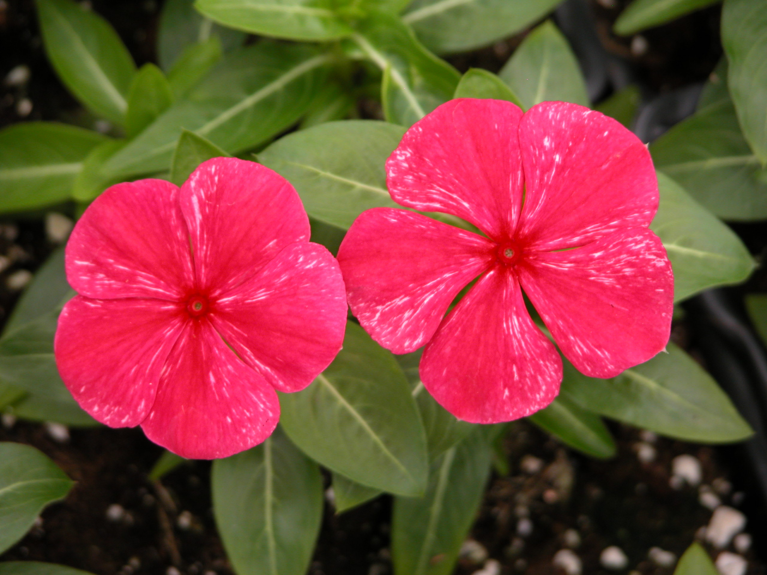Tips For Producing Vinca Bedding Plants Greenhouse Product News