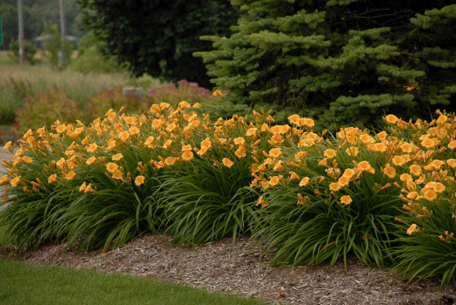 How to force daylilies for spring retail sales greenhouse product news izmirmasajfo