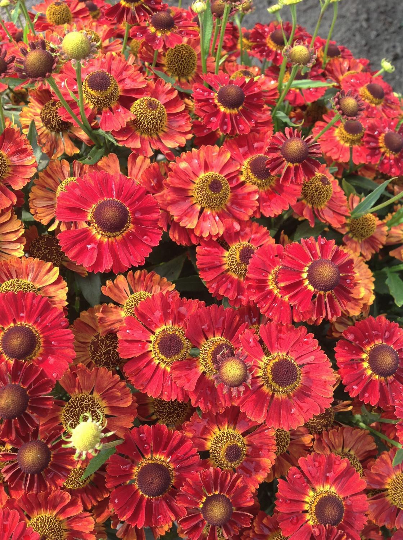 Perennial Solutions Helenium Mariachi Salsa Greenhouse Product News