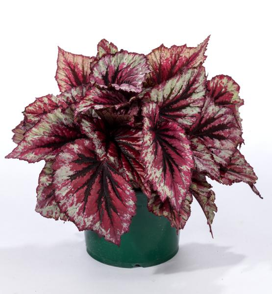 Crop Culture Report: Rex Begonia Shadow King Series ...